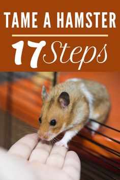 Here, I've divided the entire hamster taming process into 17 steps Cool Hamster Cages, Diy Hamster Toys, Hamster Life, Hamster House, Hamster Names, Hamster Stuff, Pet Stuff, Hamster Breeds, Hamster Habitat