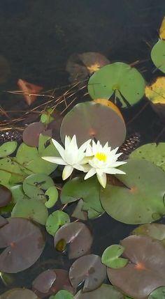 Chamomile Tea, Lily Pond, Plant Leaves, Moleskine, Plants, Pink, Color, Colour, Flora
