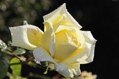 Róża, Żółta