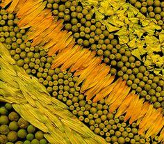 56863.22 Rudbeckia hirta, Tanacetum vulgare, Helenium autumnale | Flickr - Photo Sharing!