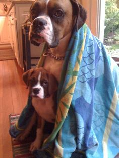 Boxers not happy 'bout bath-time!  M. Ward and Wm. Wallace.