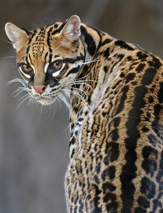 The ocelot (Leopardus pardalis) is a wild cat distributed extensively over South America including the islands of Trinidad and Margarita, Central America, and Mexico. Big Cats, Cool Cats, Cats And Kittens, Ocelot, Beautiful Cats, Animals Beautiful, Stunningly Beautiful, Cute Baby Animals, Animals And Pets