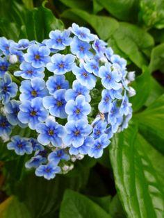 Chatham Island forget-me-not (Myosotidium hortensia) Unusual Flowers, Different Flowers, Love Flowers, Fresh Flowers, Beautiful Flowers, Flowers Pics, Blue Plants, Flower Close Up, Purple Garden