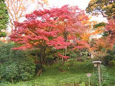 Japanese maple. Pop of color and easy to grow as long as your winters aren't too cold
