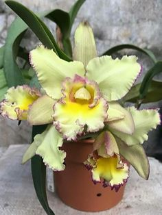 Rare Flowers, Exotic Flowers, Tropical Flowers, Pretty Flowers, Columbine Flor, Hanging Orchid, Virtual Flowers, Yellow Orchid, Cattleya Orchid