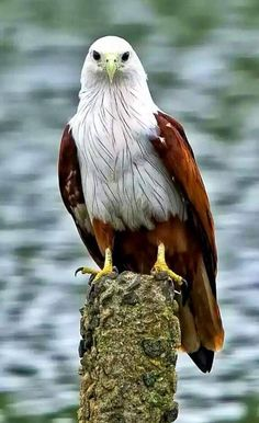 Eagle Pictures, Bird Pictures, Animal Pictures, Pretty Birds, Beautiful Birds, Animals Beautiful, Nature Animals, Animals And Pets, Cute Animals