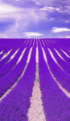 Lavender-Fields-France #LavenderFields