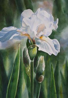 White Iris With Bud Painting by Sharon Freeman - White Iris With Bud Fine Art Prints and Posters for Sale