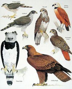 Items similar to Eagle, Hawk, Buzzard Vintage 1984 Birds Book Plate on Etsy Bird Illustration, Illustrations, Bird Identification, Bird Book, Animal Species, Birds Of Prey, Wildlife Art, Bird Art, Bird Feathers