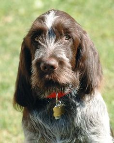bella !!  Spinone Italiano  (italian wire-haired pointing dog-Italian pointer)