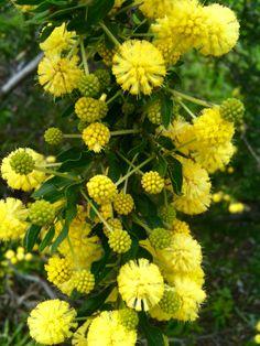 Acacia found at Royal Park, Melbourne