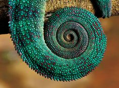 madagascar-chameleon-heinrich-van-den-berg-2
