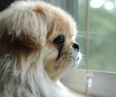 pekingese dog lovers, I miss my little girl Pekingese Puppies, Dogs And Puppies, Doggies, I Love Dogs, Cute Dogs, Adorable Puppies, Animals Beautiful, Cute Animals, Collie