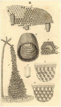 'Naturgeschichte der gemeinen Honig - oder Hausbiene,   (Apis mellifica L., Abeille domestique, Hive-bee) als Grundlage einer rationellen Bienenzucht' by August Menzel, 1855.