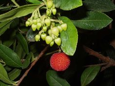 Arbutus Bonsai, Arbutus Unedo, Strange Fruit, Strawberry, Vegetables, Nature, Flowers, Food, Strawberry Tree