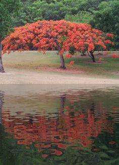 FLAMBOYAN...my favorite tree on Puerto Rico.