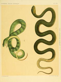 De voornaamste giftslangen van Nederlandsch Oost-Indie / - Biodiversity Heritage Library