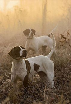 Searching for movement  beautiful English pointers  own a few