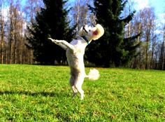 Tobbe the Poodle: Happy Spring Dance ♥ Happy Spring, Poodle, Garden Sculpture, Dance, Lifestyle, Outdoor Decor, Animals, Dancing, Animales