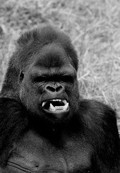 (imagine facing this fella in the wild, dang! Silverback Gorilla, Chimpanzee, Los Primates, Animals And Pets, Cute Animals, Ape Monkey, Mountain Gorilla, Wild Creatures, Baboon