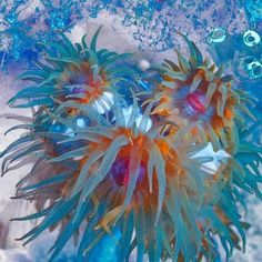 All kinds of animals / Sea anemone. Vittoria Amati photographs the marine life around the coral reefs of Sulawesi, Indonesia.