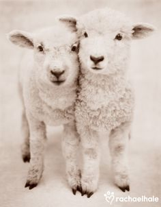 Romeo and Juliet (Romney Lambs)  Romeo and Juliet are inseparable friends, where one goes the other surely follows.