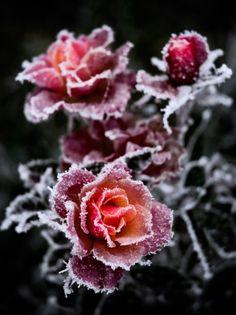 Winter's Roses