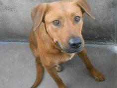SOS___URGENT ____EUTH LISTED! ___PRETTY LAB GIRL - ID#A1249759 [[SHARE]] PLEDGE ... PLZZ!!! **BEHIND DOUBLE GATES- NO PUBLIC ACCESS** VERY SWEET GIRL! OC ANIMAL CARE, 561 The City Drive South, Orange, CA 92868, 714-935-6848  https://www.facebook.com/photo.php?fbid=10152837419005223=a.10152310078035223.929996.315830505222=1