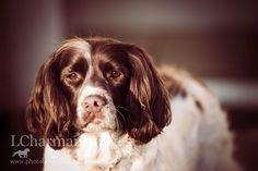 Spaniels, Rescue Spaniel, Working Dog, Portraits, Gundog off season, beautiful, mans best friend