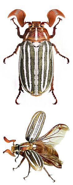 Polyphylla decemlineata
