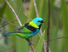 Saíra-sete-cores, Saíra-das-sete-cores ou Tangará seledon. Foto: Wikipedia