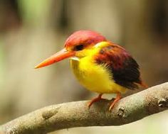 southeast asia birds - Bing images