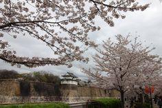 https://flic.kr/p/F31S2n | Sakura at Osaka Castle 2016 | Osaka Sakura Spots This album is about Sakurat at Osaka Castle. Check out more information about Osaka Castle Sakura at Osaka Castle