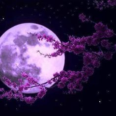 The moon through cherry tree branches.