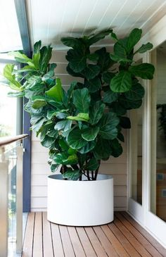 Potted plant for under patio - fiddle leaf fig