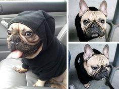I want a french bulldog!!
