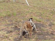 Leopard in the Grass by Pieter Geyser