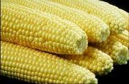 Colheita do milho safrinha bate recorde no Paraná