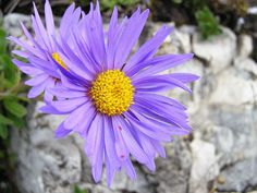 Flowers of Rozsutec - Aster alpinum. Blooms in summer Aster, Bloom, Gardens, Park, Flowers, Plants, Summer, Summer Time, Outdoor Gardens