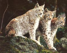 3 Lynx Cats