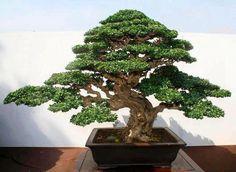 A Guide To Bonsai Trees For Beginners Bonsai Tree Price, Buy Bonsai Tree, Japanese Bonsai Tree, Bonsai Trees For Sale, Bonsai Tree Types, Bonsai Tree Care, Tree Sale, Fukien Tea Bonsai, Terraria Tips