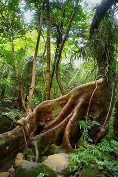 Tropical rainforest jungle of Japan, Iriomote Island, Yaeyama, Okinawa, Japan