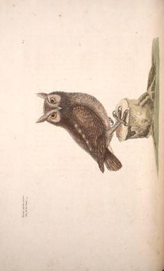 The Little Owl,  from the The natural history of Carolina, Florida and the Bahama Islands, Mark Catesby, 1729.