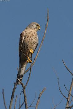 Italy - Lazio - Male Kestrel (Gheppio comune - Falco tinnunculus) by Sarah Joy Landon