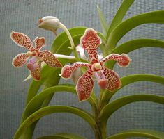 Vanda gibbsiae Vanda Orchids, Orchid Flowers, Rare Flowers, Exotic Flowers, Beautiful Flowers, Lanai Ideas, Hd Landscape, Ways To Show Love, Orchidaceae