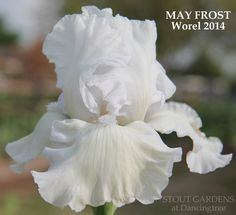 TB Iris germanica 'May Frost' (Worel, 2014)