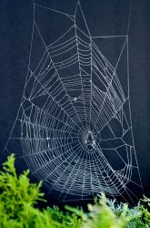 "Make Spider Web Art!  We used to do this by gently ""flouring"" the web with flour from the pantry and then press the web onto the paper."