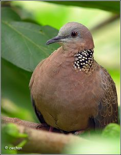 Spotted Doves (not native :( )