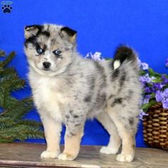 Eva is a photogenic Pomsky puppy with a classy personality. This adorable gal is vet checked, up to date on shots and wormer, plus comes with a health Pomsky Puppies For Sale, Pomeranian Husky, Dog Life, Pennsylvania, Cute Animals, Pets, Pretty Animals, Cutest Animals, Cute Funny Animals