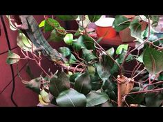 Ambilobe Panther chameleons for sale online, buy baby ambilobe panther chameleon for sale online panther chameleon breeder baby panther chameleon for sale. Chameleons For Sale, Baby Panther, Watch One, Chow Chow, Wall